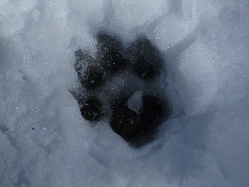 I think (?) this is a bear track in the snow, on NF-1.