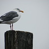 Seagull near Crescent City