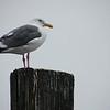 Seagull near Crescent City