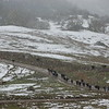 Cattle drive in the snow on Showers Pass Rd.