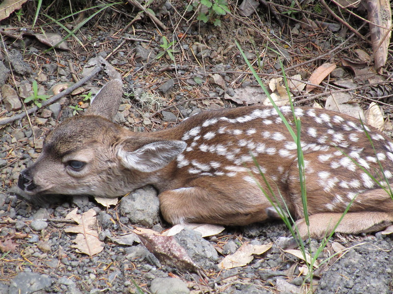 Newborn fawn trying to blend into some rocks next to the road