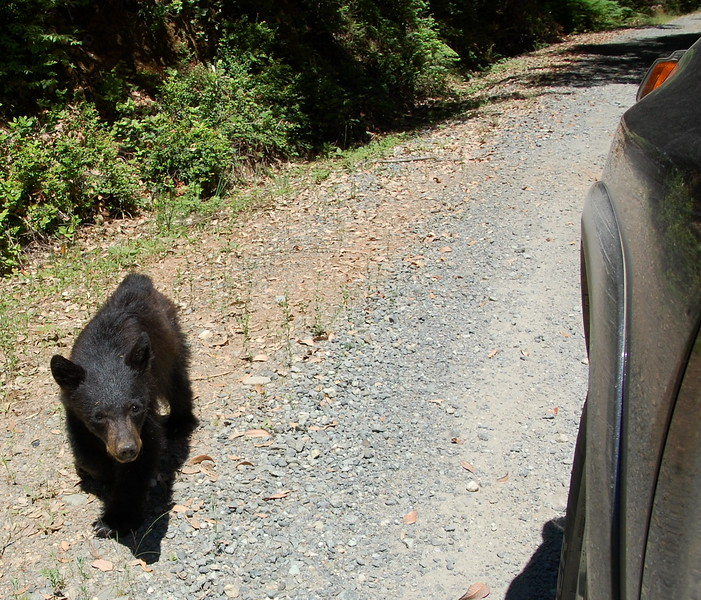 Bear cub on French Camp Road, came right up to the truck