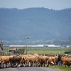 """Ferndale is a """"cow town""""; more cows than people.  These cows are being moved from one pasture, across the road to another."""