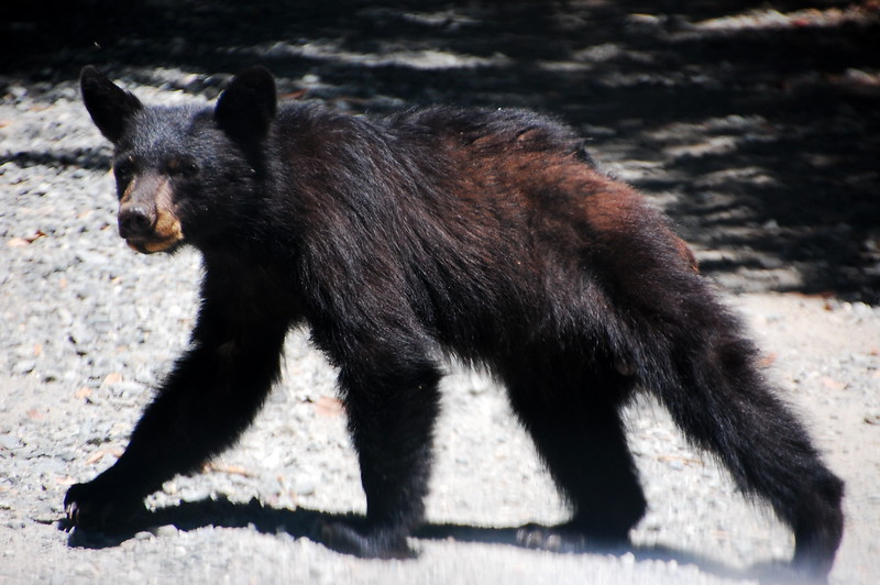 Bear cub on French Camp Road