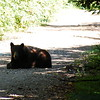 Adult black bear sitting in the shadows on the road on 100 Mile Prairie Road.  Excuse the shit-ass lighting.  He was in the dark, and I was shooting fast, and because of that the background is severely overexposed.