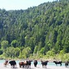 Cows near the Eel River, McCann