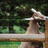 Goaty McGoaterson has an itch she literally cannot scratch.