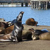 Sea lions at Crescent City harbor moving gradually towards the parking lot...