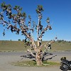 Shoe tree.  No one knows what the fuck this is about.  US 395 near the Nevada line.