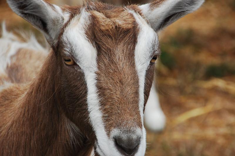 Goaty!