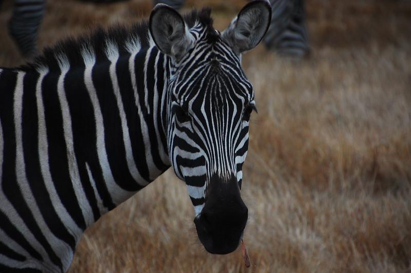 Random zebras roaming near the ocean, near Petrolia.  I shit you not.