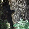 Bear cub in the tree, French Camp Road