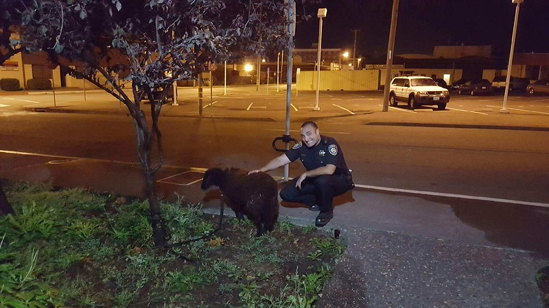 Some kids tied this black sheep up outside the PD as a joke at 3 in the morning.  Animal control took it to the dog pound, which seemed kind of inappropriate, but hey, what can you do?
