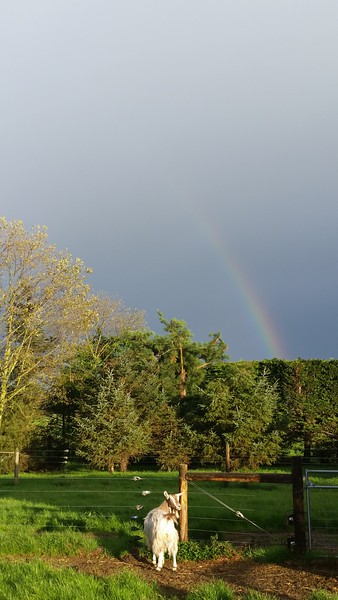 Rainbow over the ranch.  Goaty takes it in.