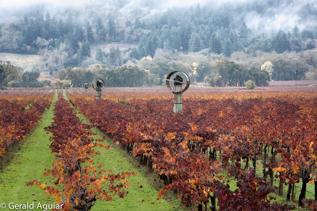 This field had multiple rows of fans to help protect the grapes from frost.