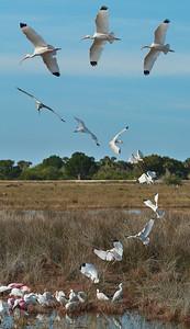 White Ibis at Merritt Island