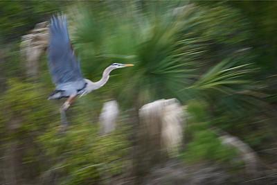 Blue Heron Ascending