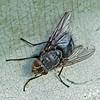 Bluebottle, Calliphora vomitoria.
