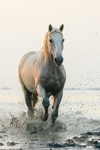 Camargue White Horse at dawn.