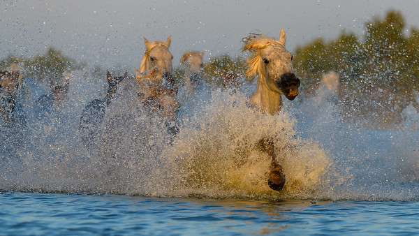 Herd of Camargue White Horses splashing  in blue water.