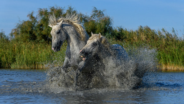 Camargue White Horses battling in a pond.