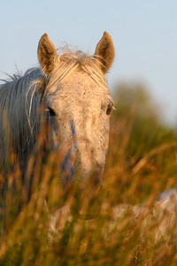 Camargue White Horse in the tall grass.