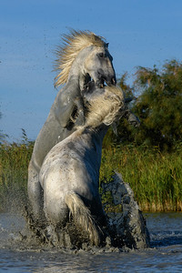 Camargue White Horses - Stallions Fighting