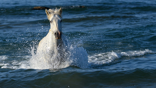 Camargue White Horse running out of the Mediterranean Sea.