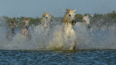 Stampeding Camargue White Horses