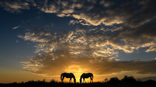 Camargue White Horses grazing at sunrise.