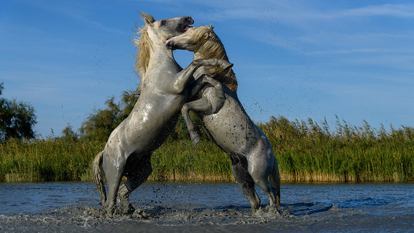 Fighting fro dominance - Camargue White Horses