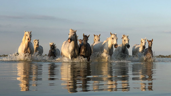 Herd of Camargue White Horse pond reflection.
