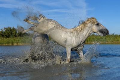 High kicking fighting Camargue White Horses