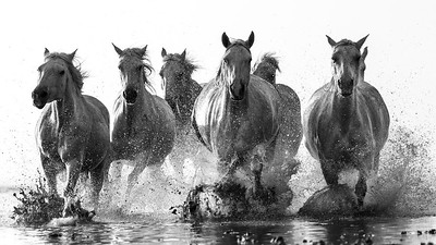 Galloping herd of Camargue White Horses.