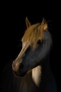 Camargue White Horses Portrait