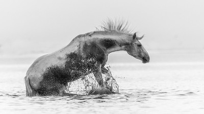 Camargue White Horse rolling in the water.