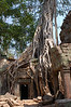 Cambodia, Angkor: Tree roots draped over Ta Prohm Temple.