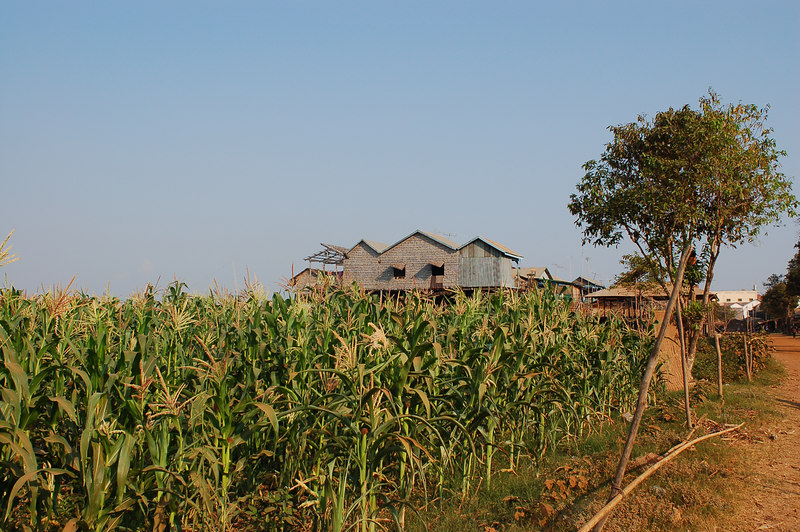 Corn crop and stilt houses.