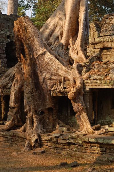 A huge tree envelopes a wall of Prasat Preah Khan