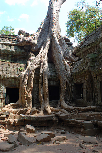 A huge tree plants its roots in Ta Prohm Temple