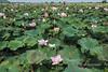 Samatoa-lotus-farm,-Sangat-Siem-Riep,-Cambodia