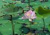 Lotus-leaves-and-blossom-(Nelumbo-nucifera),-Sangat-Siem-Riep,-Cambodia