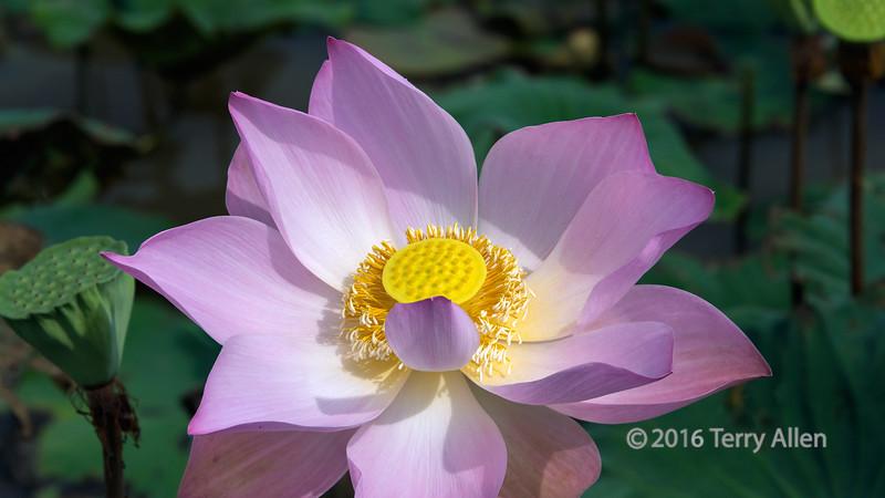 Open-lotus-blossom,-Samotoa-Lotus-Farm,-Sangat-Siem-Reap,-Cambodia
