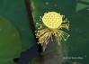 Almost-mature-lotus-seed-pot-(Nelumbo-nucifera),-Sangat-Siem-Riemp,-Cambodia