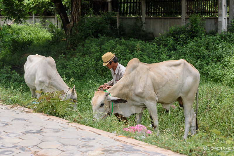 Cattle Beside the Sidewalk