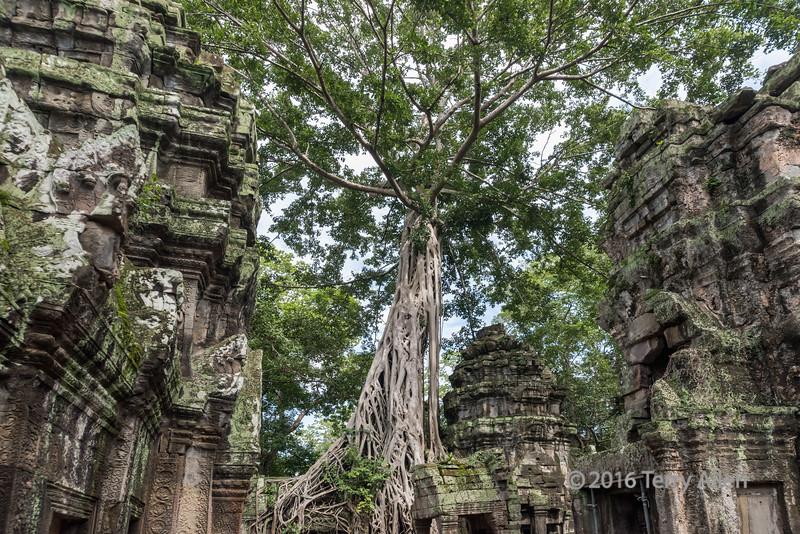 Giant-strangler-ficus-tree-(Ficus-gibbosa)-on-the-walls-of-Ta-Prohm,-Siem-Reap,-Cambodia