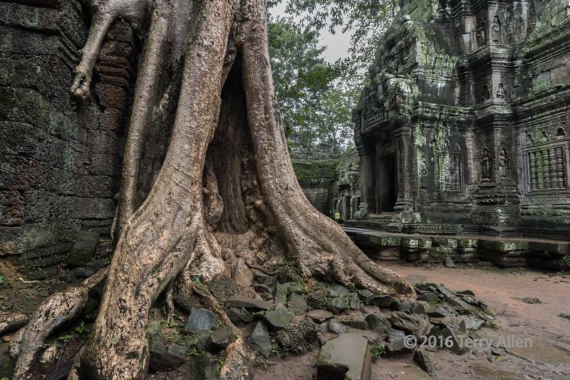 Large-silk-cotton-tree-(Ceiba-pentandra)-growing-on-the-walls-of-Ta-Prohm-Temple,-Angkor-Wat,-Cambodia