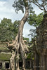 Large-thitpik-tree-(Tetrameles-nudiflora)-inside-Ta-Prohm-compound-by-West-Gate,-Angkor-Thom,-Cambodia