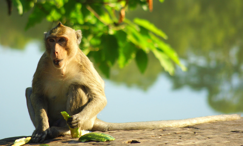 Today's daily travel photo is of a cheeky monkey holding a piece of fruit while munching away just outside of Angkor Wat - Siem Reap, Cambodia.