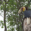 wreathed hornbill, male, Bokor National Park